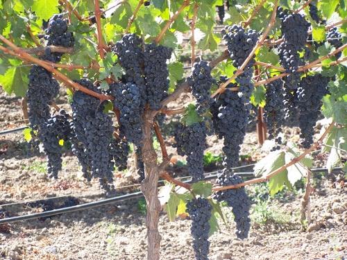 raisin en septembre